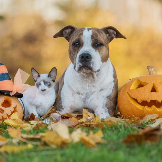 Cat and dog with jack-o-lanterns
