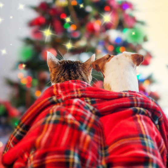 Cat and dog under holiday blanket