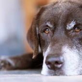 Lethargic senior dog