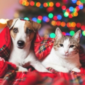Dog and cat covered by blanket in front of christmas lights