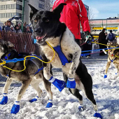Iditarod Dog Sledding Competion