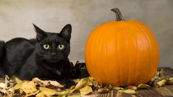 halloween pet safety header image black cat and pumpkin