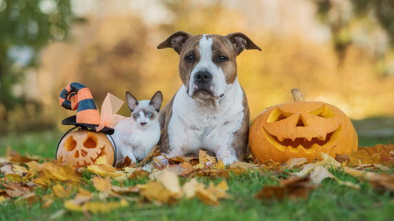 Cat and dog with jack-o-lanterns